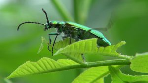 Spanish Fly is very interesting beetle and aphrodisiac in one.